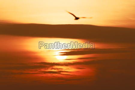 flying seagull at sunset