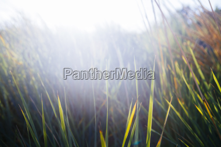 germany dahme marram grass at sunset