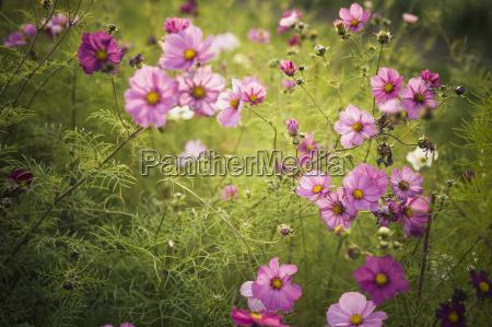blossoms of mexican aster cosmos bipinnatus