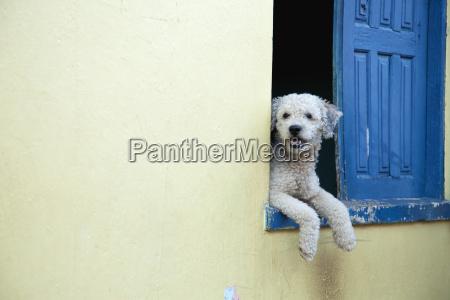 brazil bahia dog leaning on window