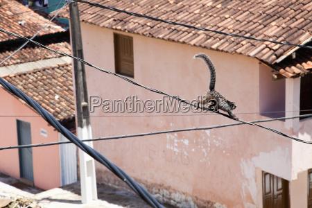 brazil bahia monkey climbing on power