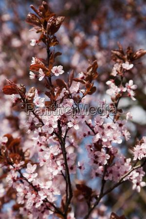 germany wuerzburg cherry flowers in