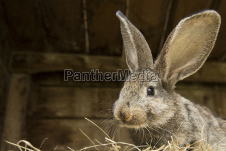 germany brandenburg rabbit close up
