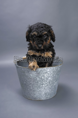 miniature poodle in bucket close up