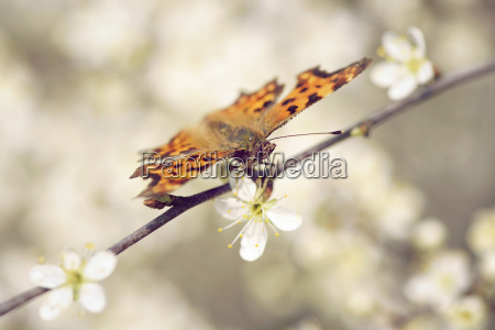 germany comma butterfly polygonia c album