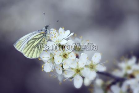 germany green veined white butterfly pieris