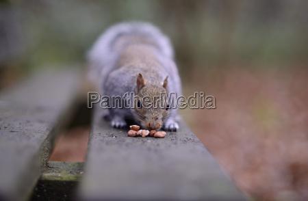 grey squirrel sciurus carolinensis on wooden