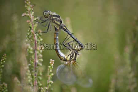 two black darters sympetrum danae copulating