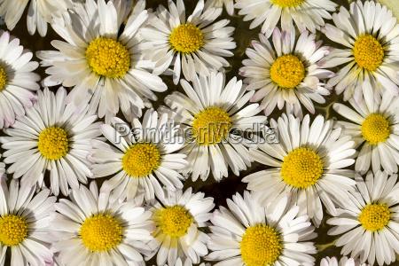 germany bavaria daisy flowers close up