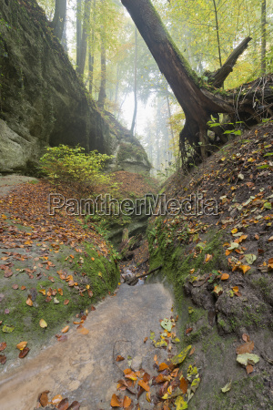 germany autumn leaves in beech forest