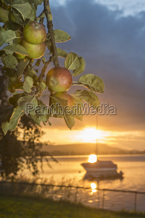switzerland view of apples branch and