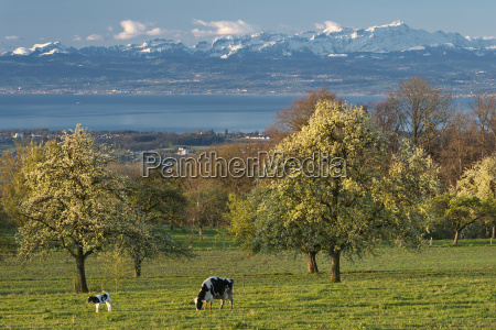 germany constance view of cows grazing