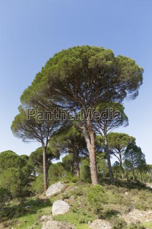 turkey view of aleppo pine at