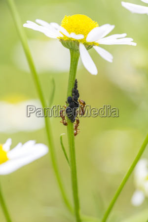 chamomile flower with ants and lice