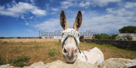 spain menorca donkey near stonewall