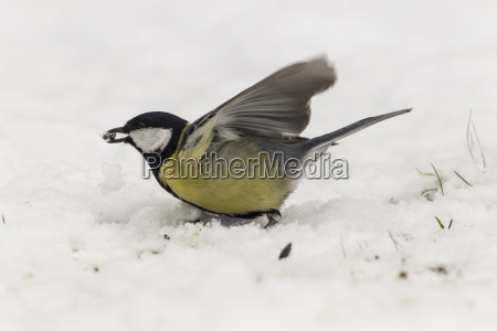 germany hesse great tit perching on