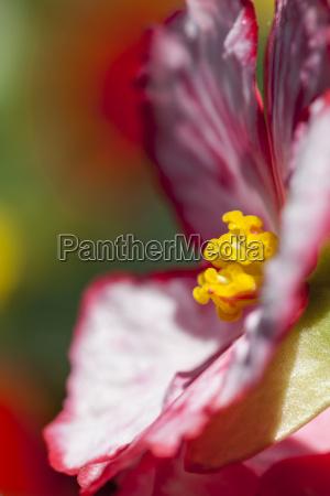 germany hesse mannheim tuberous begonias flower