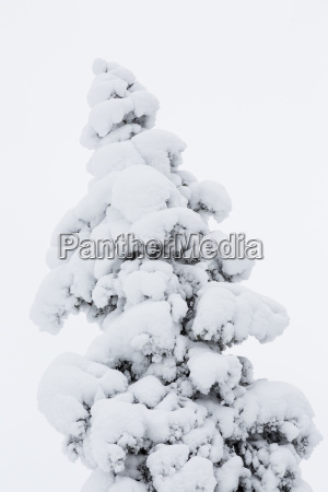 finland snow capped tree