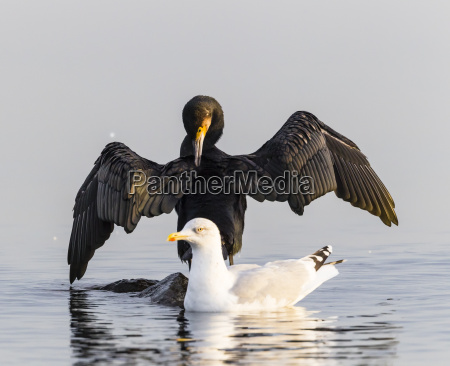 germany timmendorfer strand cormorant and seagull