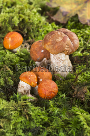orange birch bolete leccinum versipelle and