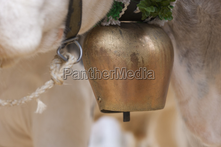 germany cow with cow bell close