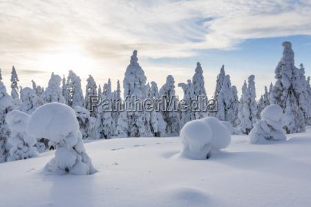 skandynawia finlandia rovaniemi las drzewa w
