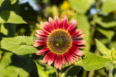 red sunflower helianthus annuus