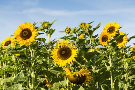 view to sunflower field helianthus annuus