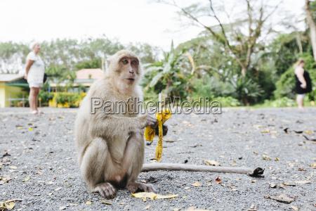 thailand monkey eating banana