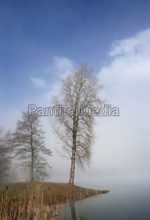 austria view of birch trees in