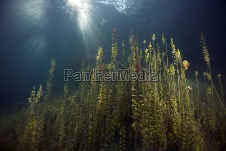 germany bavaria pondweed in a lake