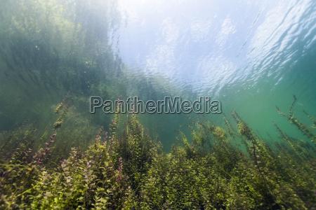 germany bavaria pondweeds in echinger weiher