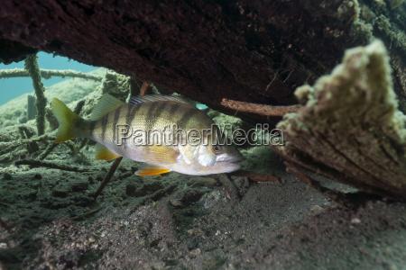 austria tyrol european perch in blindsee
