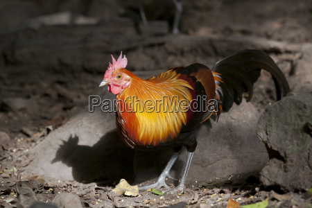 male red junglefowl gallus gallus