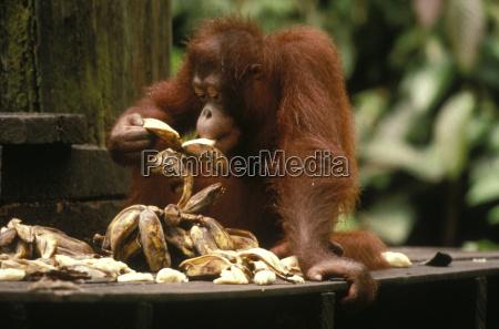 sepilok orang utan reserve east malaysia