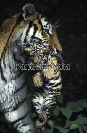 eastsibirian tiger with puppies
