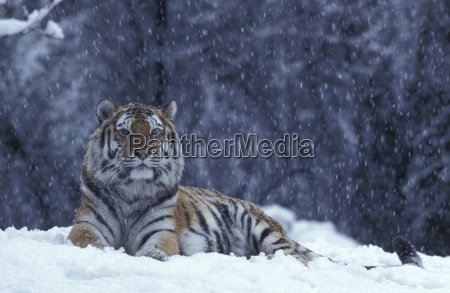 eastsibirian tiger in the snow