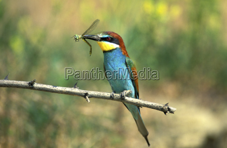 male european bee eater wooing a