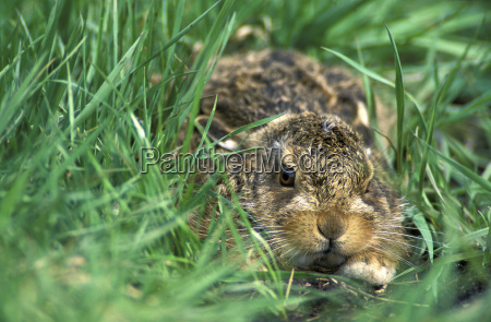 young hare lepus capensis
