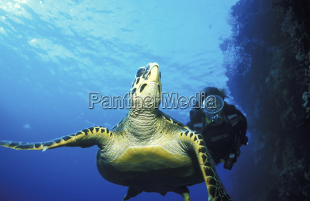 turtle swimming in sea with person