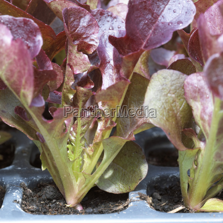 seedlings of red oak leaf lettuce