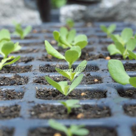 seedlings in vessel close up