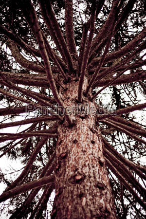 conifer tree low angle view