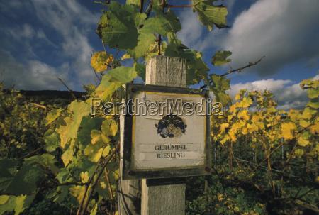 riesling vine growing estate geruempel wachenheim