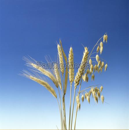 wheat oat and barley