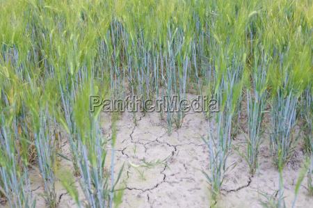 germany saxony dry wheat field