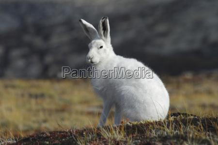 greenland arctic hare close up
