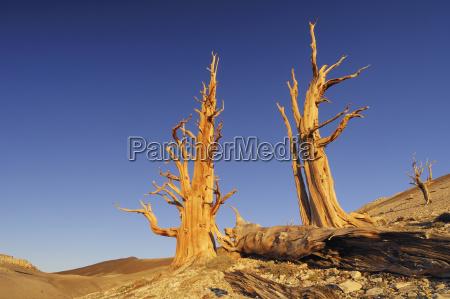 usa california bristlecone pine trees pinus