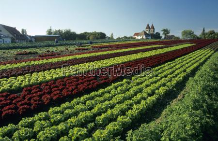 lettuce field lake constance germany
