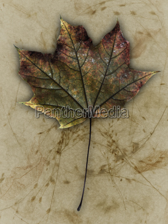 maple leaf close up